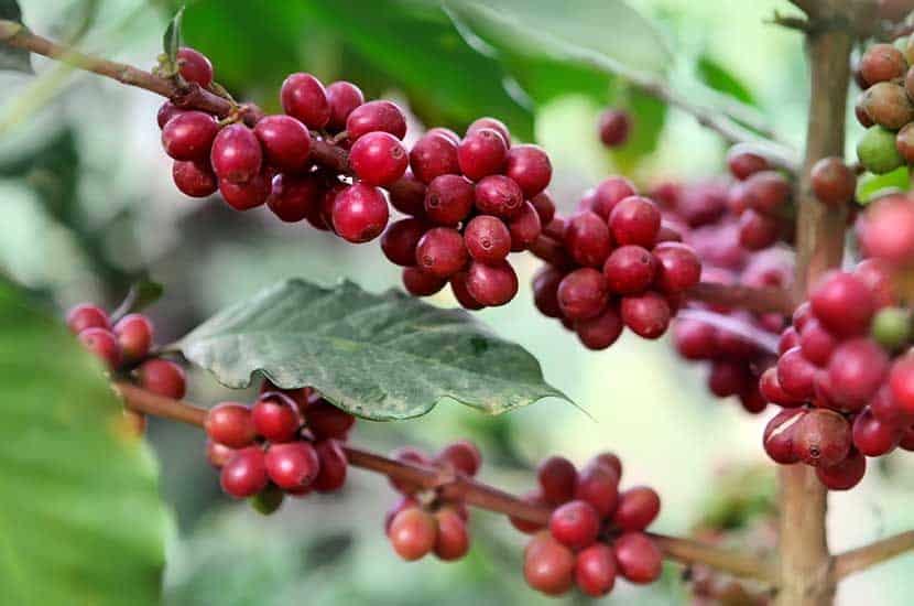 Estudios de investigación indican que la cafeína puede estimular la termogénesis