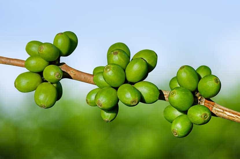 El café verde son los granos de café que aún no han sido tostados