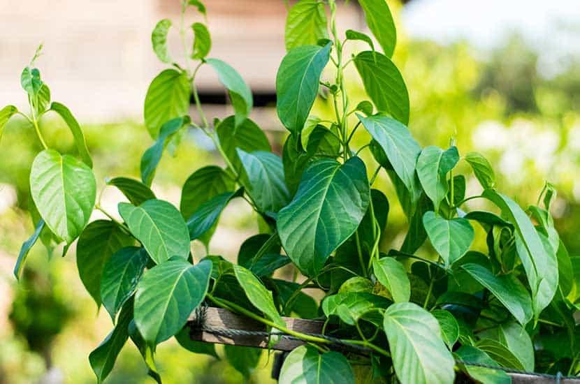Esta planta puede ayudar a reducir los triglicéridos