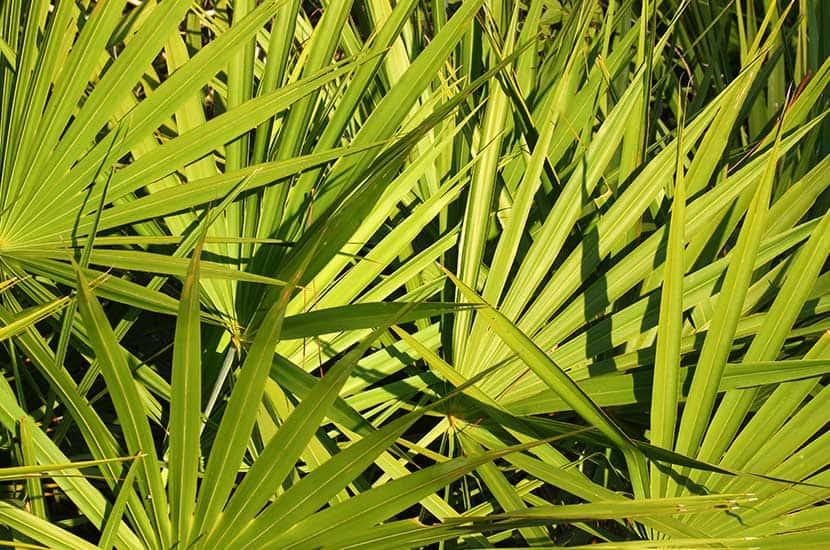 El fruto de la palmera enana Americana actua sobre la misma enzima que el Viagra