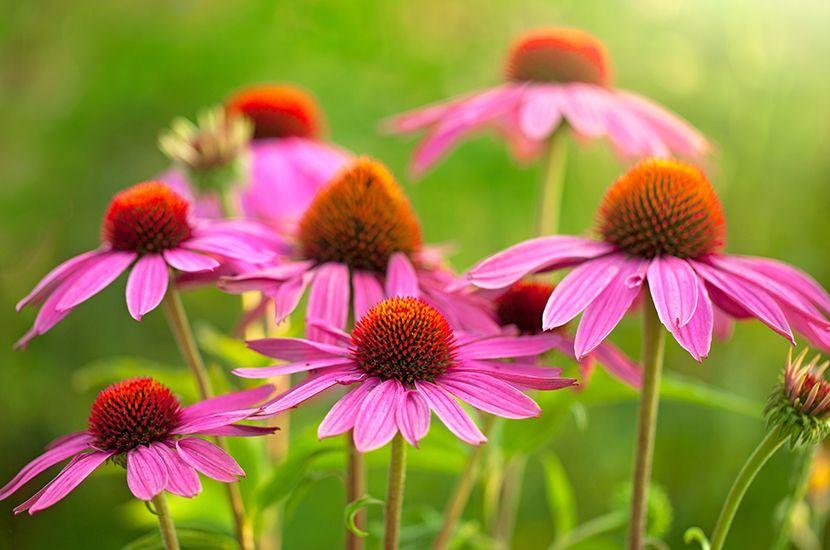 La equinácea es una planta con alto potencial antiinflamatorio