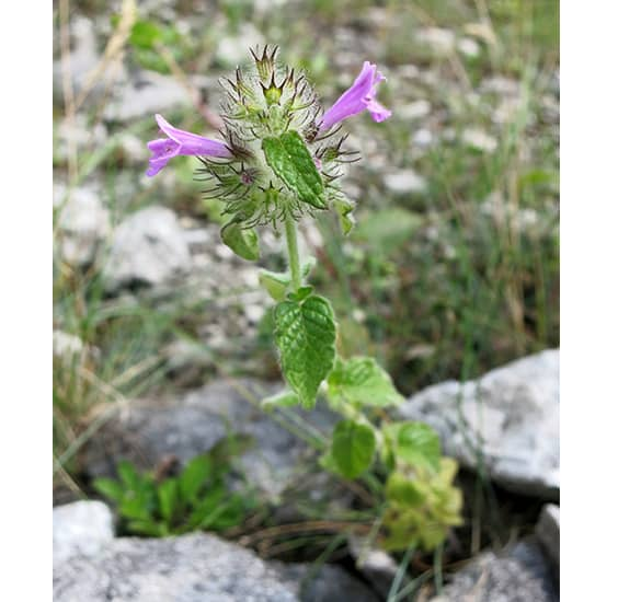 La albahaca silvestre es usada en la medicina tradicional búlgara para sanar heridas