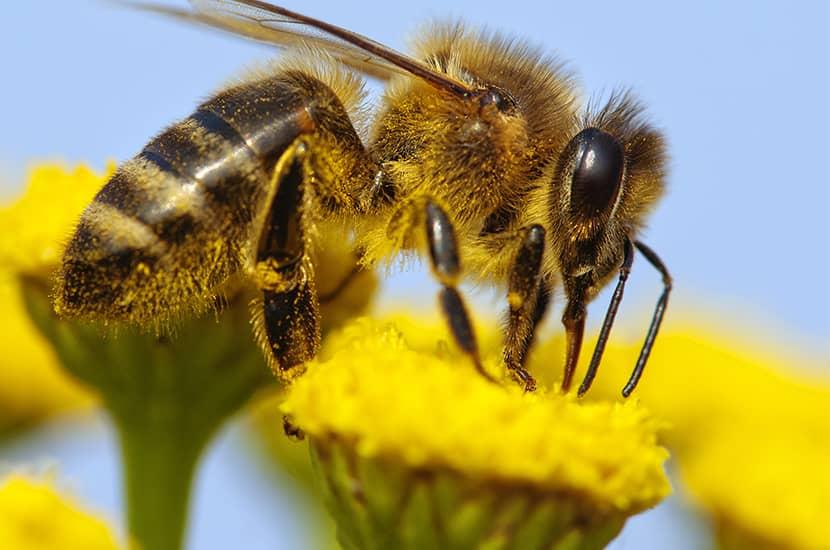 La apitoxina es un derivado del veneno de abeja