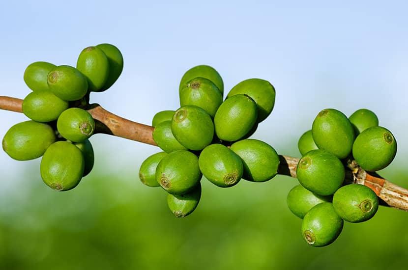 El café verde actúa directamente sobre el metabolismo de la grasa.