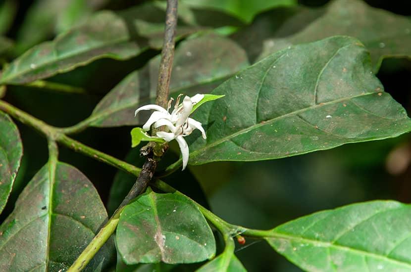 En la medicina tradicional esta planta es conocida por aumentar la libido y el tamaño del pene