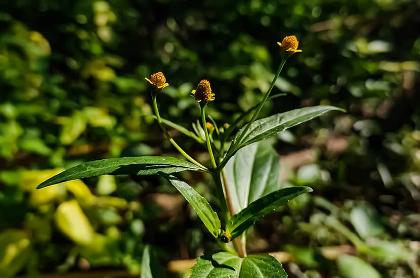 Esta planta es capaz de estimular la liberación de óxido nítrico en los vasos sanguíneos del pene