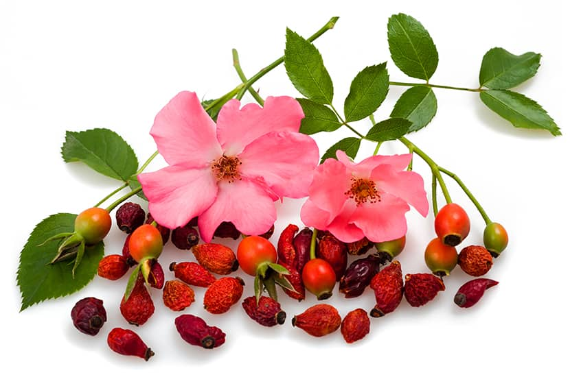La rosa mosqueta podría ser útil para prevenir la diabetes y reducir el riesgo cardiovascular