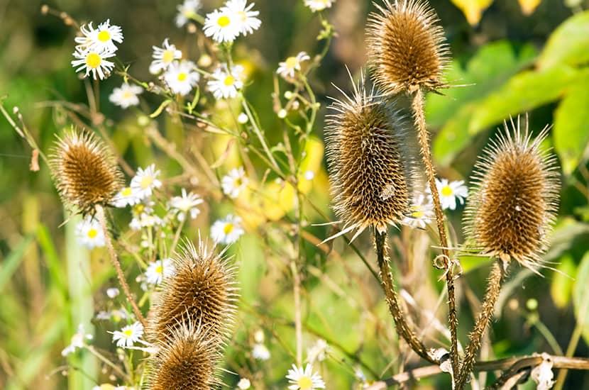 La planta tribulus terrestris puede ser un tratamiento efectivo para la disfunción eréctil