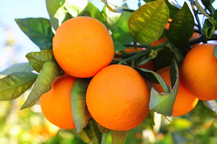 La sinefrina en la naranja agria podría estimular los receptores que regulan el apetito
