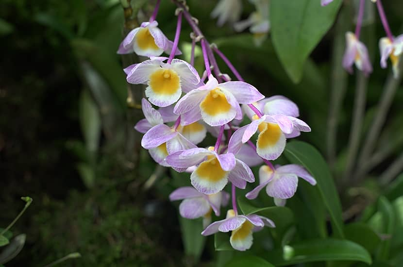 Esta planta se utiliza en medicina tradicional china para estimular el sistema inmune