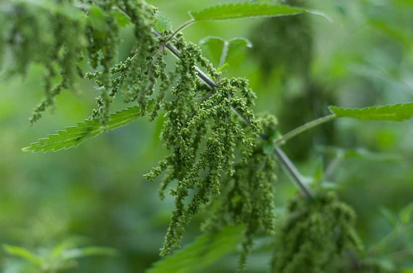La zarzaparrilla también tiene efectos antioxidantes y antiinflamatorios