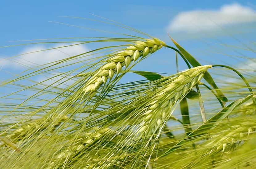 La cebada verde es rica en nutrientes capaces de actuar directamente sobre el metabolismo