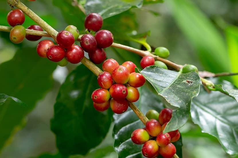 La combinación de cafeína y teanina podría mejorar la resistencia