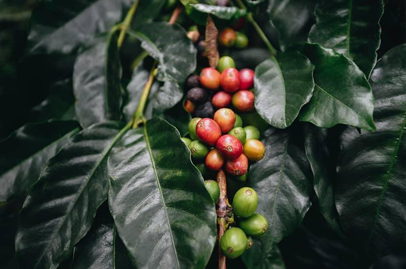 El café verde esta formado por los granos de café sin tostar