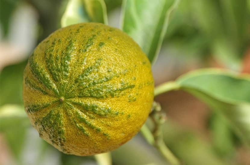 La naranja amarga es una fruta cítrica cuyo extracto se utiliza en suplementos para bajar de peso