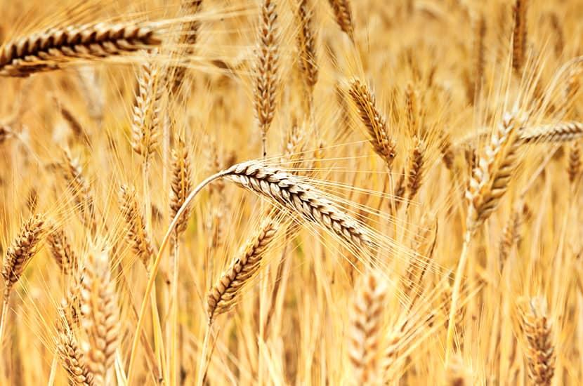 El pantenol se obtiene a partir del trigo