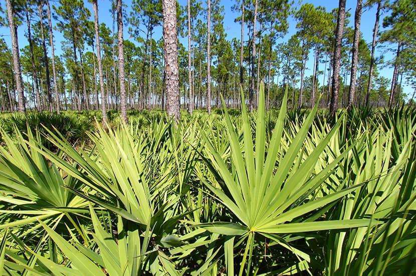 La palmera enana americana puede tener efectos sobre los niveles de hormonas masculinos