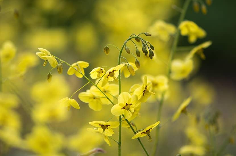 Esta hierba es utilizada en la medicina tradicional China como afrodisíaco