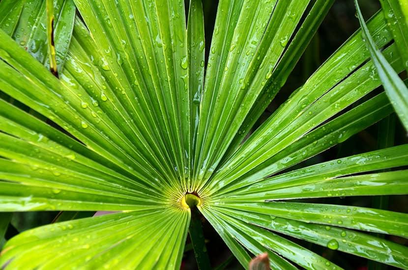 La palmera enana favorece la salud prostática