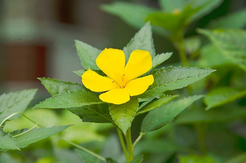 La damiana es una planta utilizada como afrodisiaco