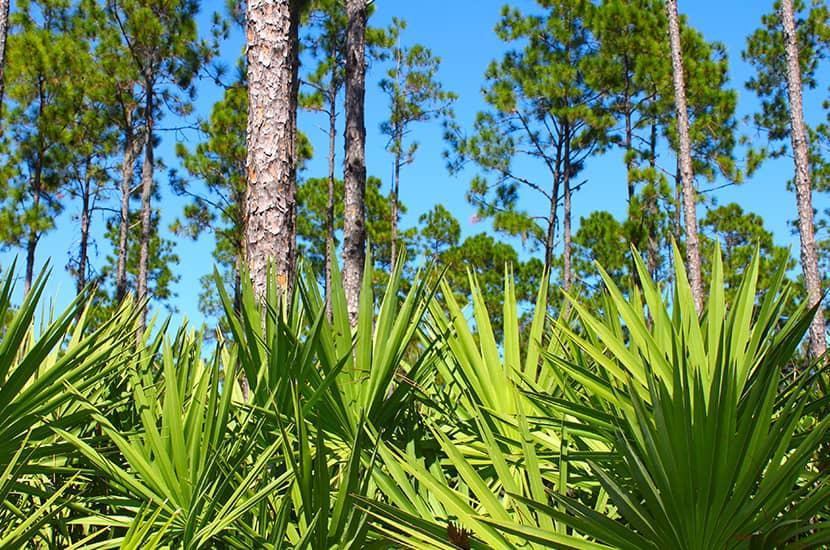 El fruto de la palmera enana americana favorece a la salud prostática
