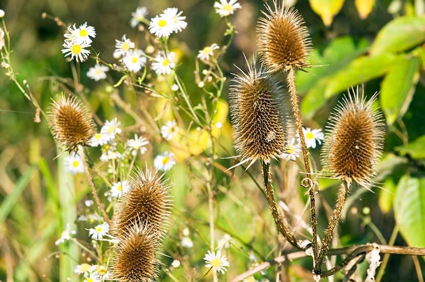 Se ha demostrado que esta hierba es capaz de aumentar la libido