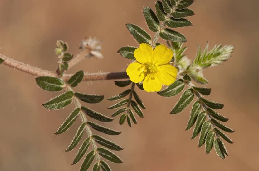 La planta Tribulus terrestris podría potenciar las erecciones