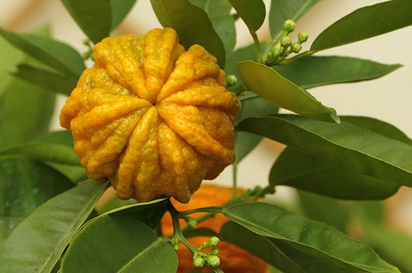El extracto de naranja amarga podría aumentar el metabolismo