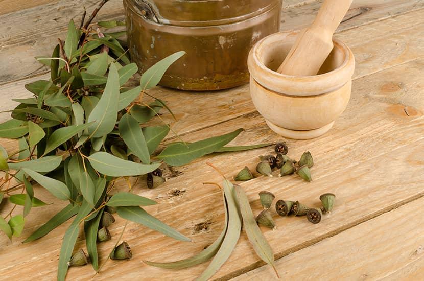 El extracto de eucalyptps refresca y alivia el dolor